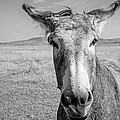 Begging Burro by Lynn Sprowl