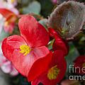 Begonia 20140706-1 by Alan Look