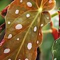 Begonia Maculata 'wightii' by Maria Mosolova