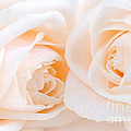 Beige Roses by Elena Elisseeva