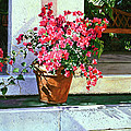 Bel-air Bougainvillea Pot by David Lloyd Glover