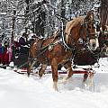 Belgian Draft Horses Pulls A Sleigh In Yosemite National Park by Jason O Watson