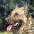 Belgian Laekenois Dog by Johan De Meester