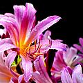 Belladonna Lilies by Deena Stoddard