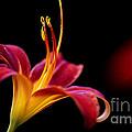 Belladonna Lily by Heiko Koehrer-Wagner