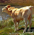 Bellowing Cow by Pg Reproductions