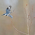 Belted Kingfisher 3 by Randy Giesbrecht