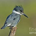 Belted Kingfisher by Anthony Mercieca