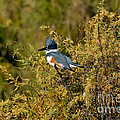 Belted Kingfisher Female by Anthony Mercieca