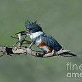 Belted Kingfisher Hen With Fish by Anthony Mercieca