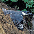 Belted Kingfisher Leaving Nest by Anthony Mercieca