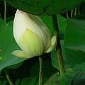 Bending Lotus Bud by August Timmermans