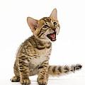 Bengal Kitten by Jean-Michel Labat
