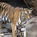 Bengal Tiger And Cubs Bandhavgarh Np by Suzi Eszterhas