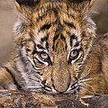 Bengal Tiger Cub And Peacock Feather Endangered Species Wildlife Rescue by Dave Welling