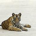 Bengal Tiger Cub On Road Bandhavgarh Np by Suzi Eszterhas