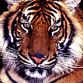 Bengal Tiger Eye To Eye by Paul W Faust -  Impressions of Light