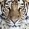 Bengal Tiger Eyes by Tom Mc Nemar