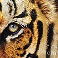 Bengal Tiger Face by Frans Lanting MINT Images