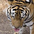 Bengal Tiger Greeting Card by Todd M Bloomer