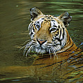 Bengal Tiger In Water Native To India by Konrad Wothe