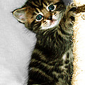Benny The Kitten Playing by Terri Waters