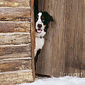 Bernese Mountain Dog At Log Cabin Door by John Daniels