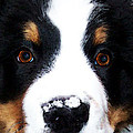 Bernese Mountain Dog - Baby It's Cold Outside by Sharon Cummings