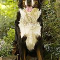 Bernese Mountain Dog by Jean-Michel Labat
