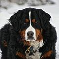 Bernese Mountain Dog by Susan Herber