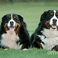 Bernese Mountain Dogs by Johan De Meester