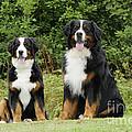 Bernese Mountain Dogs by John Daniels