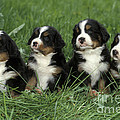 Bernese Mountain Puppies by Rolf Kopfle
