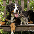 Bernese Mountain Puppy & Kitten by Jean-Michel Labat