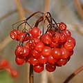 Berries by Carol Lynch