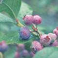 Berries For You by Rachel Mirror