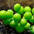 Berries On Water by Kaye Menner
