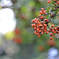 Berries by Peter Endrody