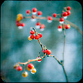 Berry Nice - Red Berries - Winter Frost Icy Red Berries - Gary Heller by Gary Heller