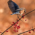 Berry Picking Bluebird by Randall Branham