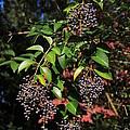 Berry Tree by Matt Woolsey