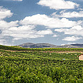 Between The Vines by Peter Tellone