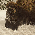 Beware Of The Bison by Priscilla Burgers