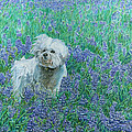 Bichon In The Bluebonnets by Dominic White