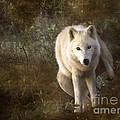 Big Bad Wolf Sprinkling The Grass by Angel Ciesniarska