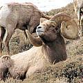 Big Bighorn Ram by Darcy Tate