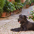Big Black Schnauzer Dog In Italy by Jaroslav Frank