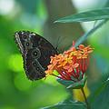 Big Boy Butterfly by Thomas Woolworth