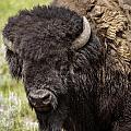 Big Bruiser Bison by Carolyn Fox