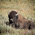 Big Buff - Bison - Buffalo - Yellowstone National Park - Wyoming by Diane Mintle